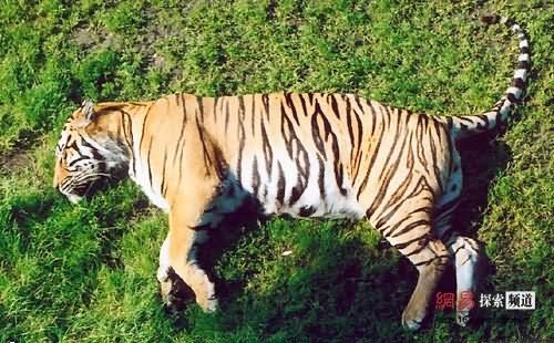 首页 论坛 > [其他]小动物们的可爱睡相  老虎也有要睡觉的时候啊